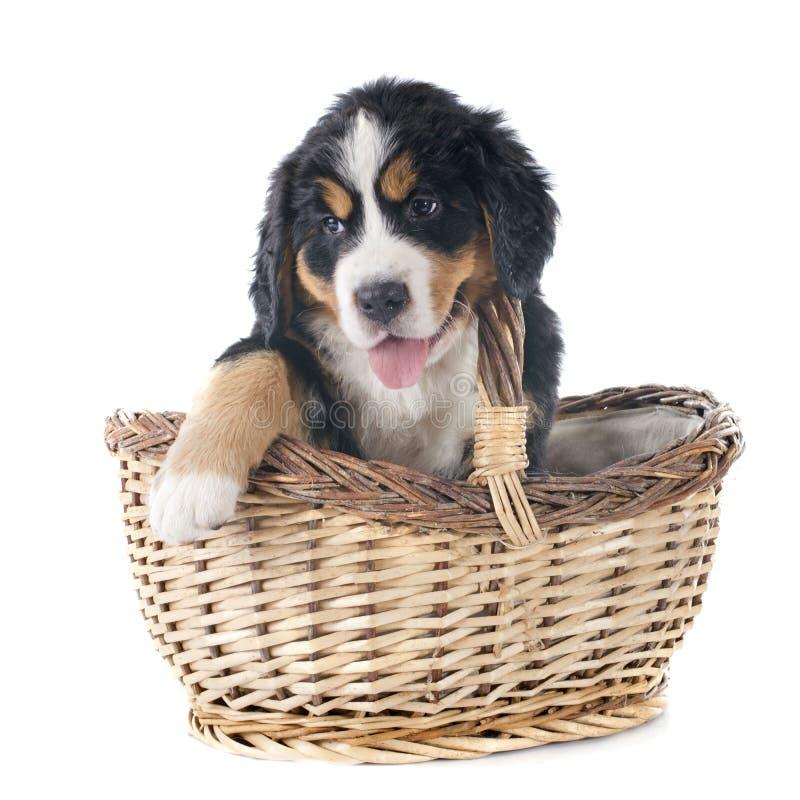 Szczeniaka bernese moutain pies fotografia stock