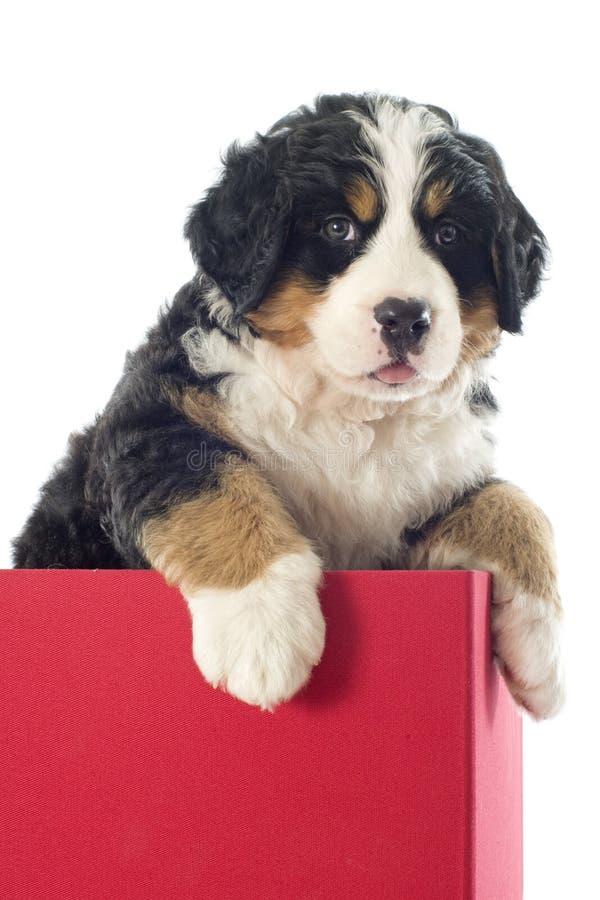 Szczeniaka bernese moutain pies w pudełku zdjęcie royalty free