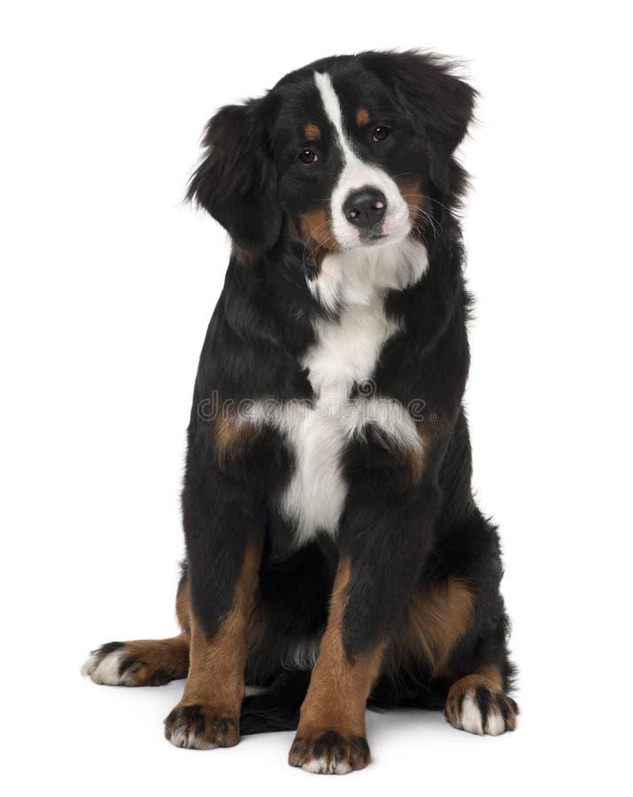 szczeniaka bernese psi halny obsiadanie zdjęcia stock