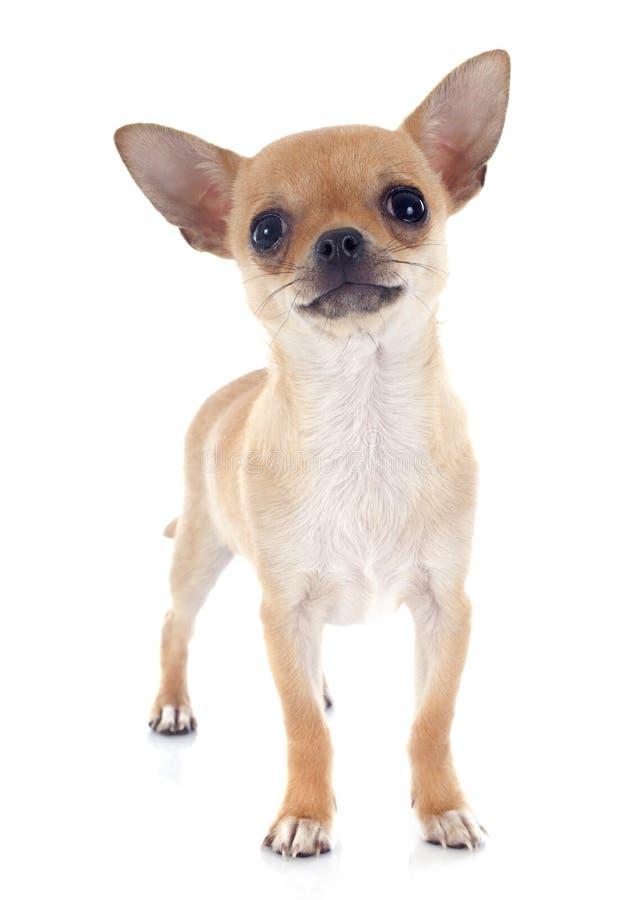 Szczeniaka chihuahua zdjęcia royalty free