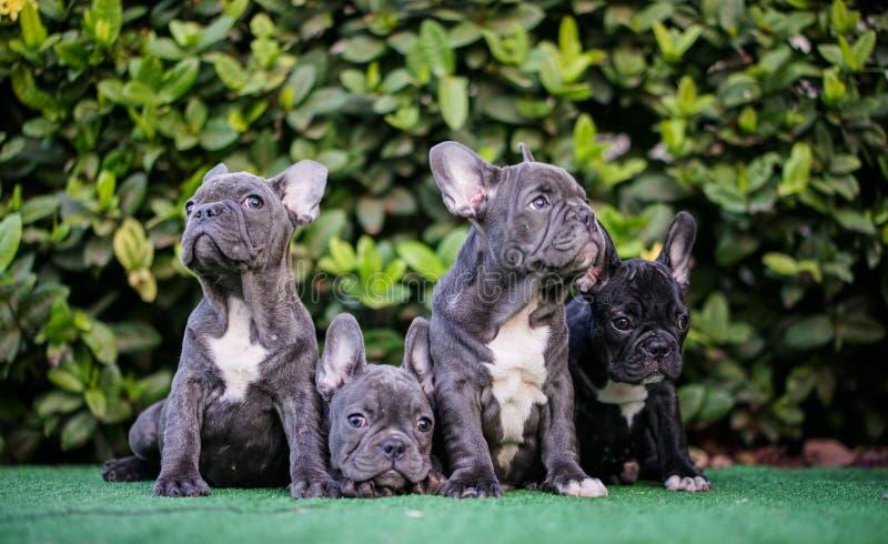 Szczeniaka Francuskiego byka Psia rodzina zdjęcie royalty free