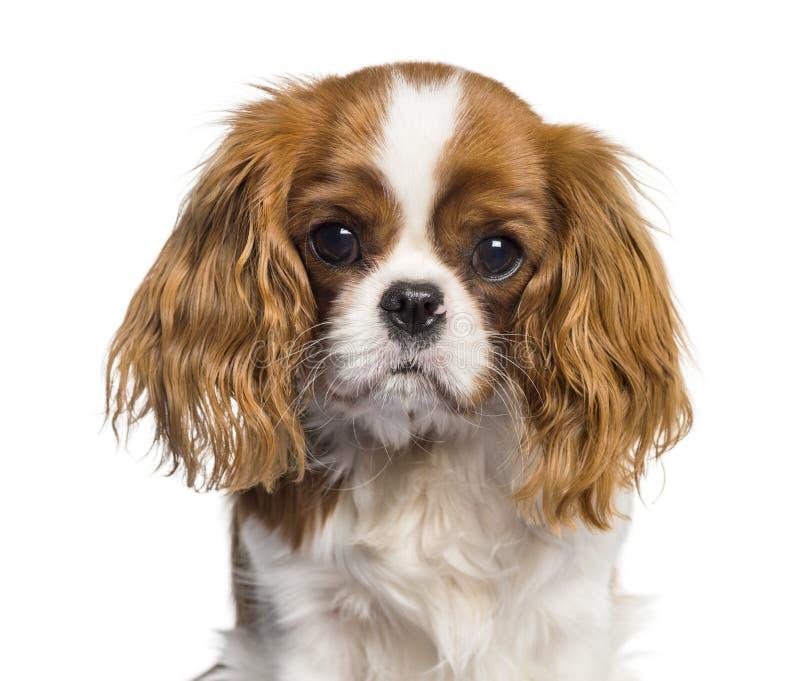 Szczeniaka królewiątka Charles Nonszalancki spaniel, pies obrazy stock