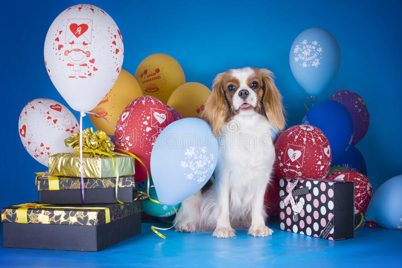Szczeniaka królewiątka Charles Nonszalancki spaniel z balonami i prezentami na b obrazy royalty free