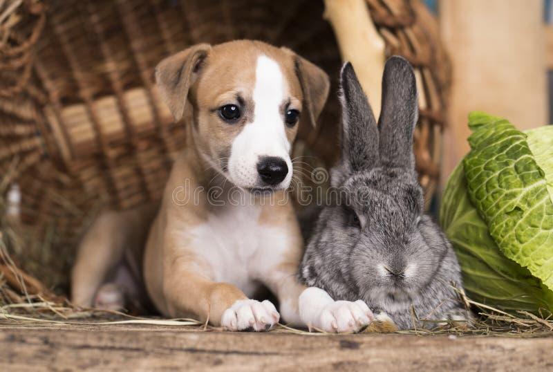 Szczeniaka królik i whippet zdjęcia stock