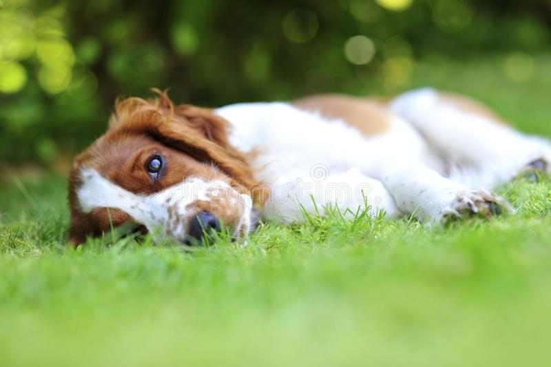 Szczeniaka lying on the beach na trawie obraz stock