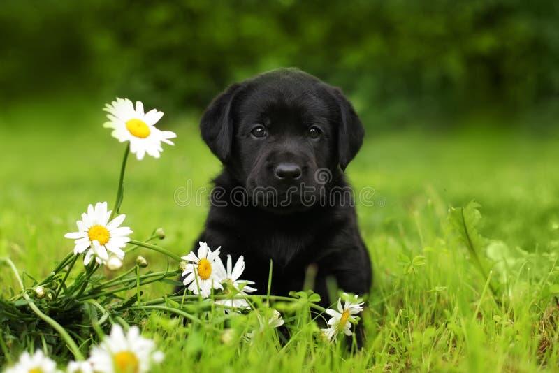 Szczeniaka psa labrador siedzi outdoors w lecie fotografia stock