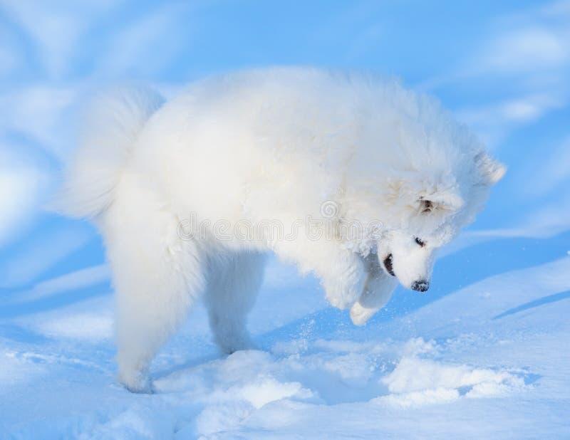 Download Szczeniaka psi samoyed zdjęcie stock. Obraz złożonej z zima - 13390538