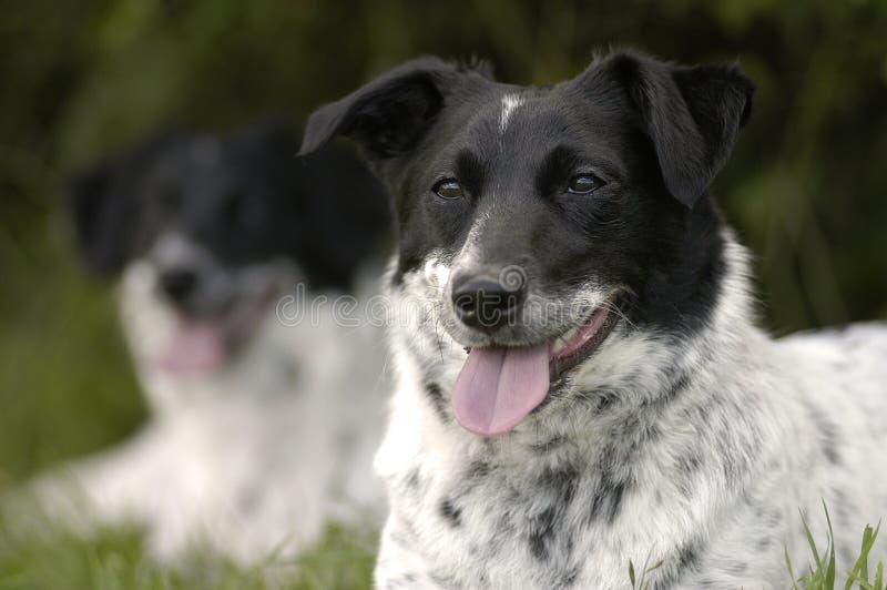 Download Szczeniaki obraz stock. Obraz złożonej z pies, udomowiający - 43143