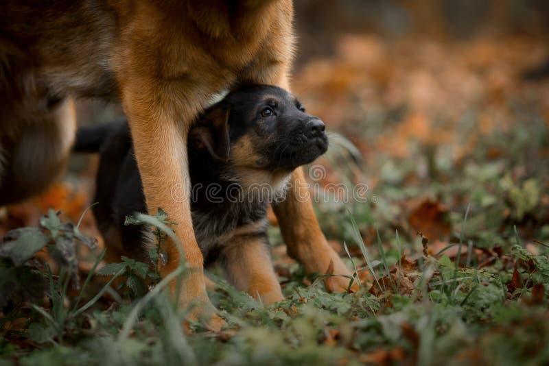 Szczeniaki niemiecki pasterski pies w jesień parku fotografia royalty free