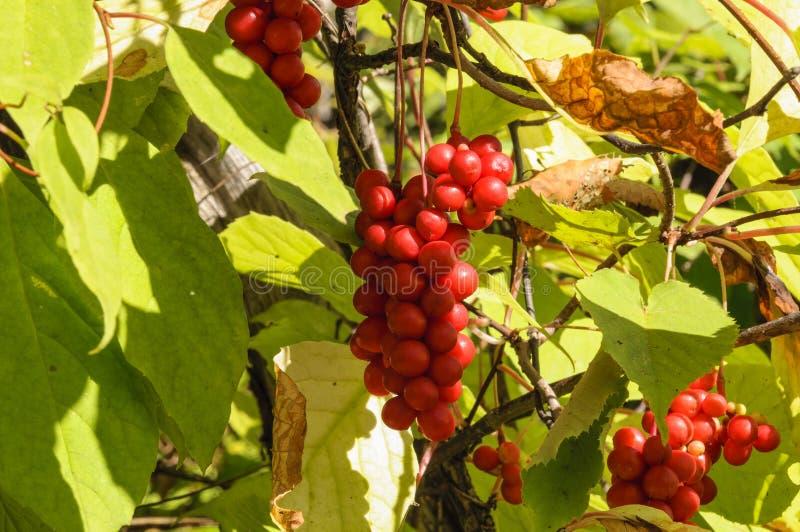 Szczotkarski owocowy Schizandra zdjęcia royalty free