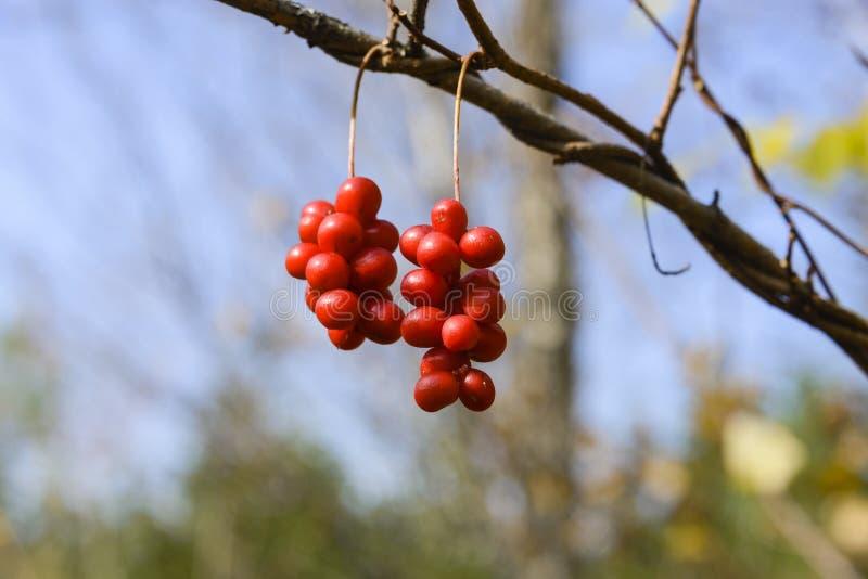 Szczotkarski owocowy Schizandra fotografia stock