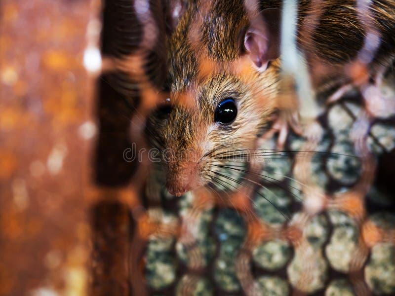 Szczur łapać w pułapkę w oklepiec klatce oklepu lub brudny szczur zakażenie istoty ludzkie tak jak Leptospirosis choroba, dżuma S obraz stock