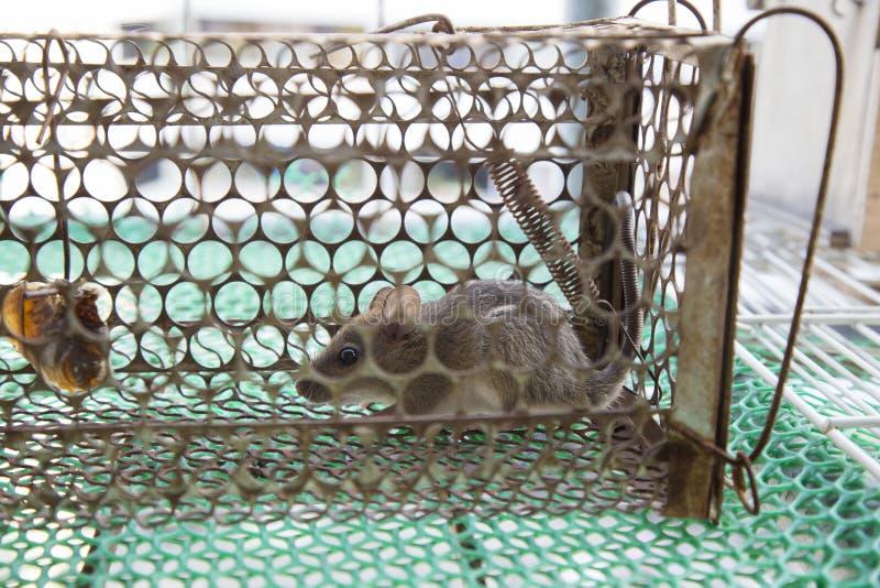 Szczur łapać w pułapkę w klatce obraz royalty free