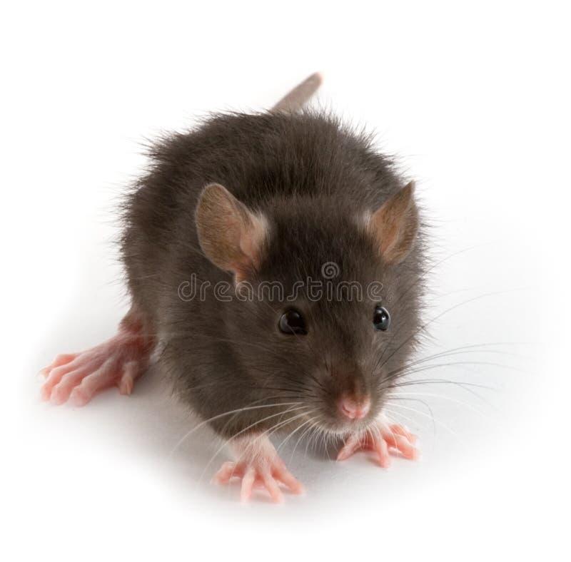 szczur. obrazy stock