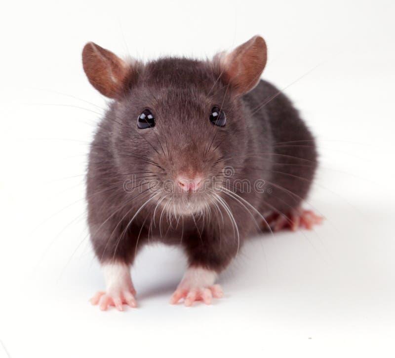 szczur. fotografia stock