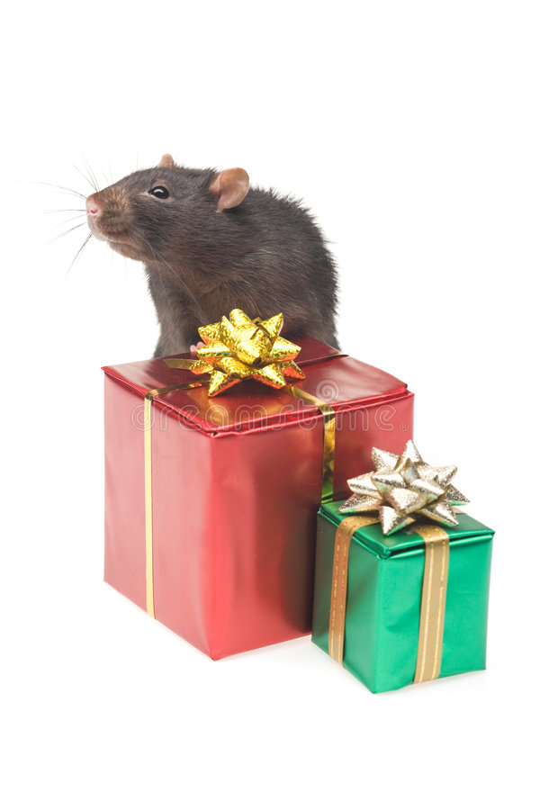 szczur. fotografia royalty free