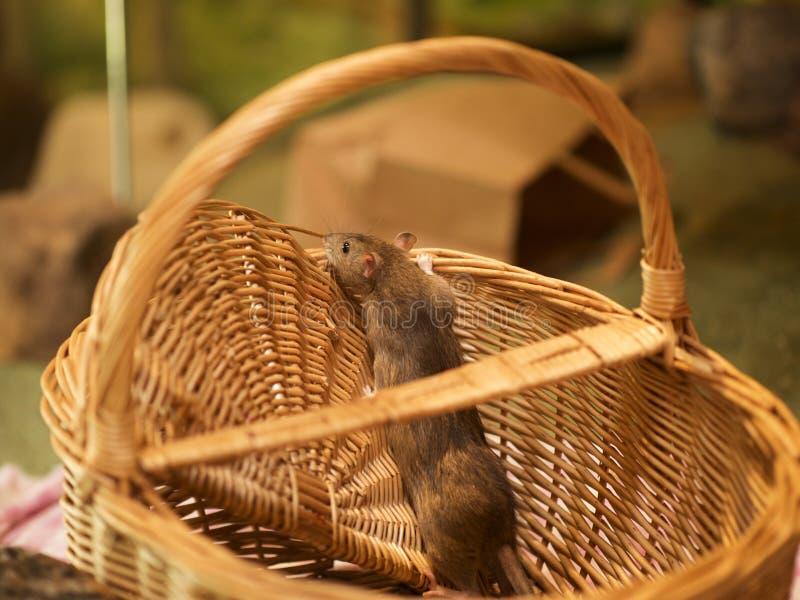 szczur fotografia royalty free