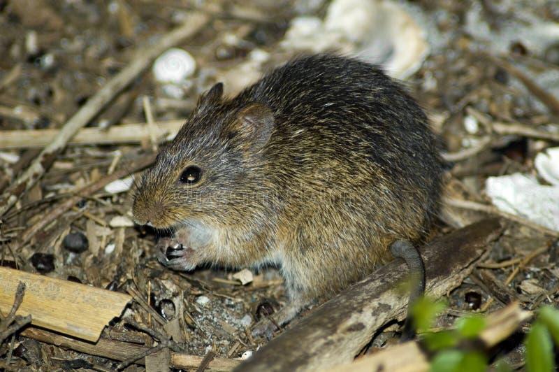 szczur bawełny fotografia stock