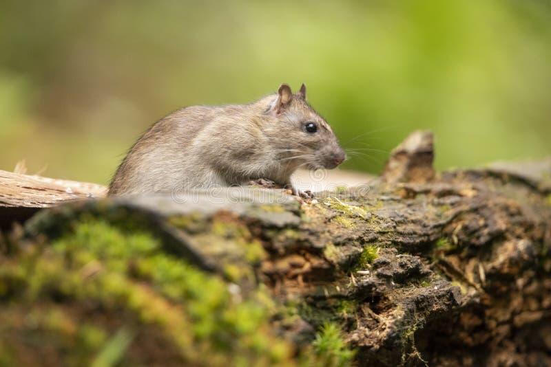 Szczur, brązu szczur, Rattus norvegicus zdjęcia stock