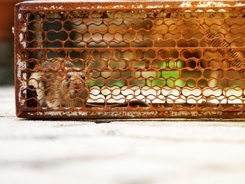 Szczur był w klatce łapie szczura dżuma, szczur zakażenie istoty ludzkie tak jak Leptospirosis choroba Stwarza ognisko domowe i m zdjęcie stock