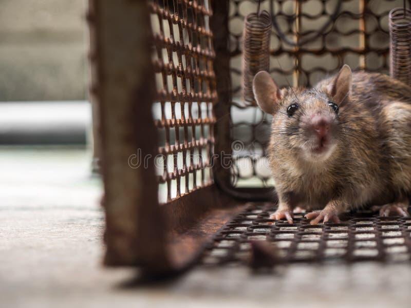 Szczur był w klatce łapie szczura szczur zakażenie istoty ludzkie tak jak Leptospirosis choroba, dżuma obrazy royalty free