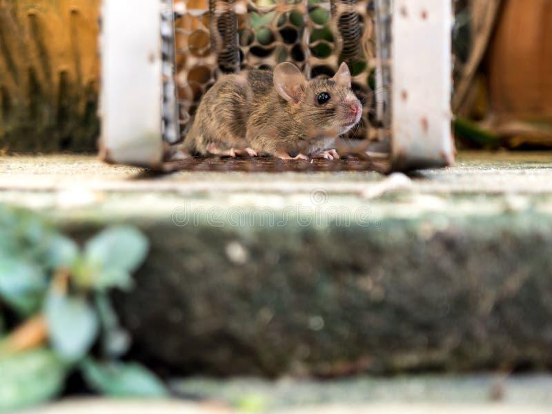 Szczur był w klatce łapie szczura szczur zakażenie istoty ludzkie tak jak Leptospirosis choroba, dżuma zdjęcia stock