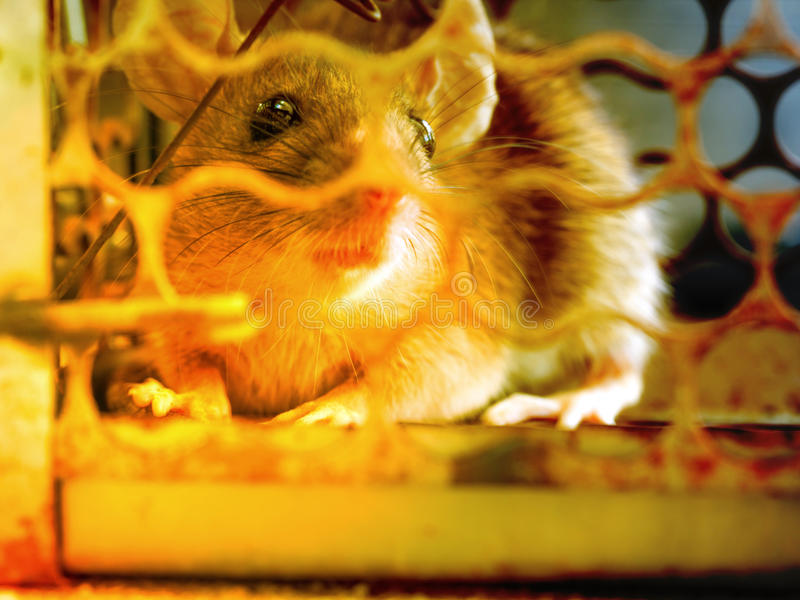 Szczur był w klatce łapie szczura szczur zakażenie istoty ludzkie tak jak Leptospirosis choroba, dżuma obraz stock