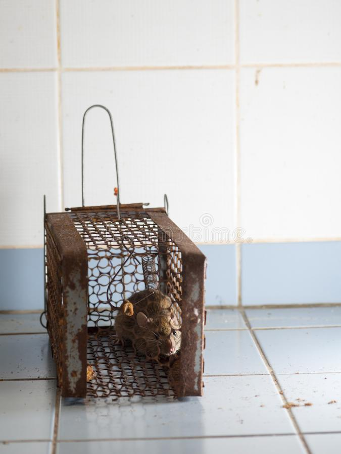 Szczur był w klatce łapie szczura szczur zakażenie istoty ludzkie tak jak Leptospirosis choroba, dżuma zdjęcie stock