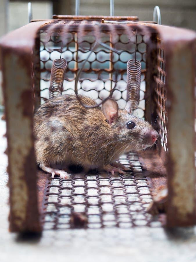 Szczur był w klatce łapie szczura szczur zakażenie istoty ludzkie tak jak Leptospirosis choroba, dżuma zdjęcia royalty free