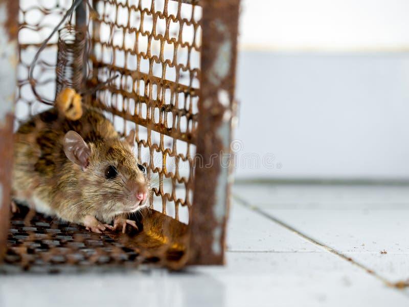 Szczur był w klatki łapaniu szczur zakażenie istoty ludzkie tak jak Leptospirosis choroba, dżuma Stwarza ognisko domowe i mieszka obrazy royalty free