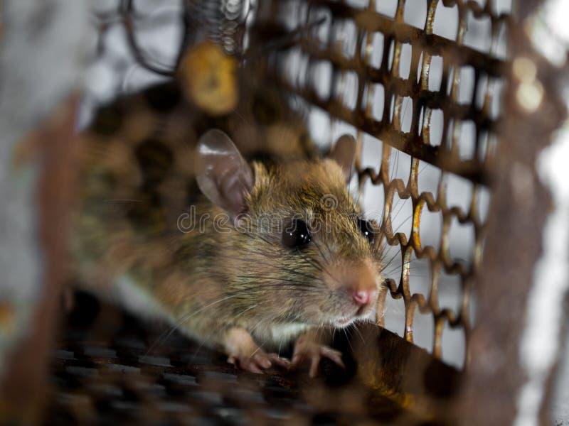 Szczur był w klatki łapaniu szczur zakażenie istoty ludzkie tak jak Leptospirosis choroba, dżuma Stwarza ognisko domowe i mieszka obraz stock