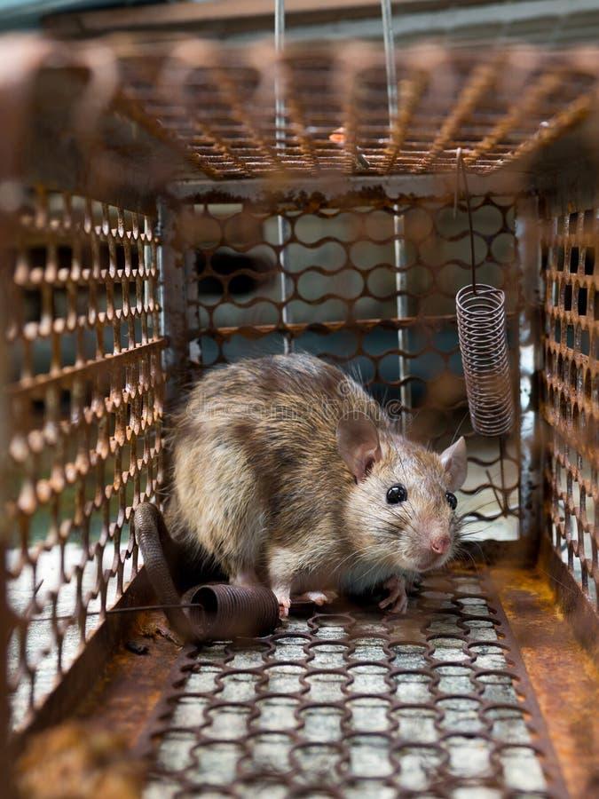 Szczur był w klatki łapaniu Szczur zakażenie istoty ludzkie tak jak Leptospirosis choroba, dżuma Stwarza ognisko domowe i mieszka obraz royalty free