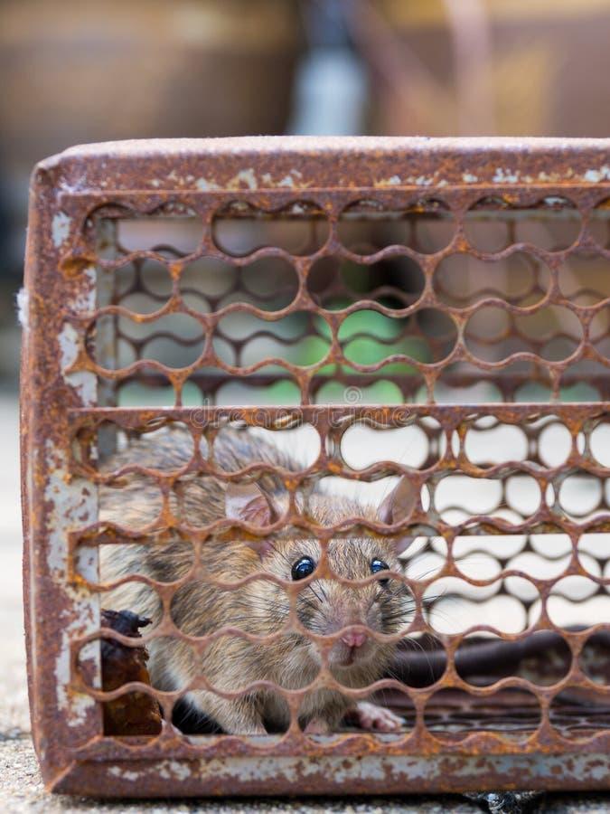 Szczur był w klatki łapaniu Szczur zakażenie istoty ludzkie tak jak Leptospirosis choroba, dżuma Stwarza ognisko domowe i mieszka fotografia royalty free