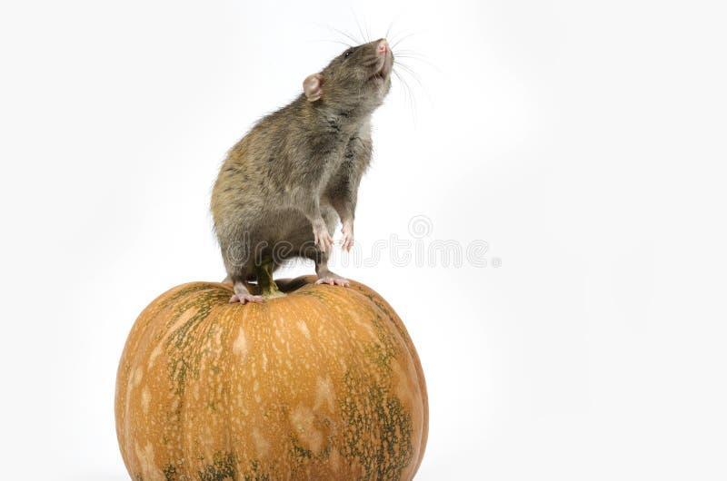 Szczur i bania obraz royalty free