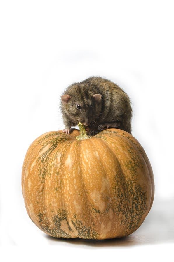 Szczur i bania obraz stock