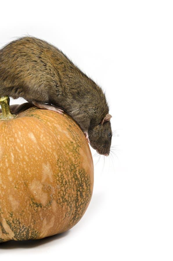 Szczur i bania zdjęcia stock