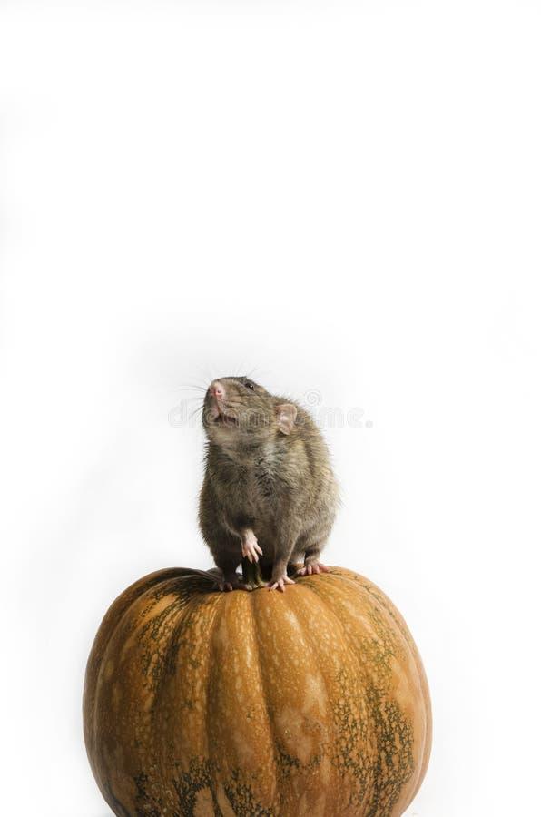 Szczur i bania zdjęcie royalty free