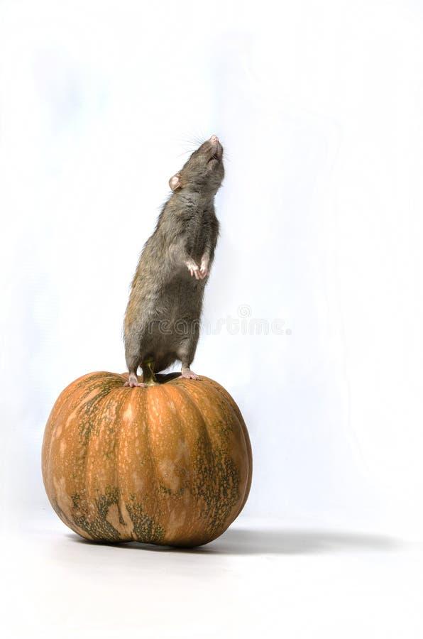 Szczur i bania obrazy stock