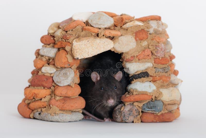 Szczur w kamiennym domu obraz royalty free