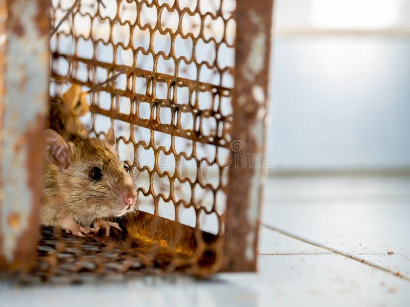 Szczur w klatce łapie szczura szczur zakażenie istoty ludzkie tak jak Leptospirosis choroba, dżuma Stwarza ognisko domowe i miesz obraz royalty free