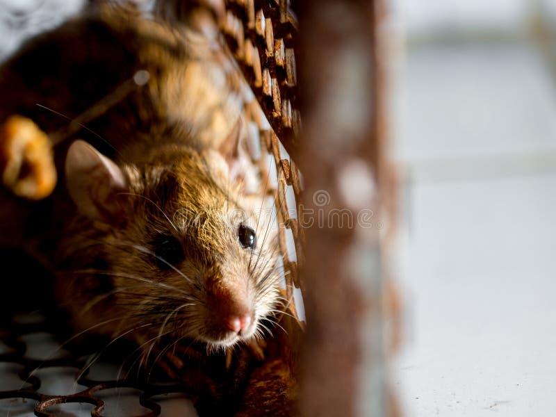 Szczur w klatce łapie szczura szczur zakażenie istoty ludzkie tak jak Leptospirosis choroba, dżuma Stwarza ognisko domowe i miesz zdjęcie royalty free
