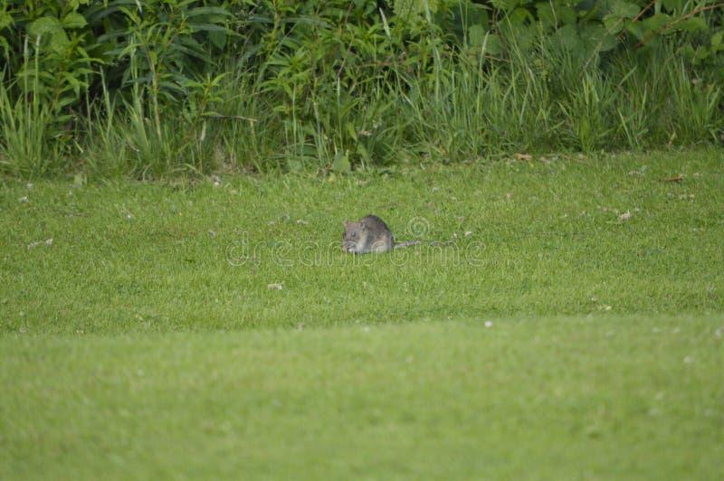 szczur w naturze, miasto park zdjęcie stock