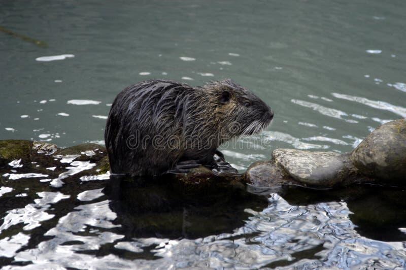 szczur wody obraz stock