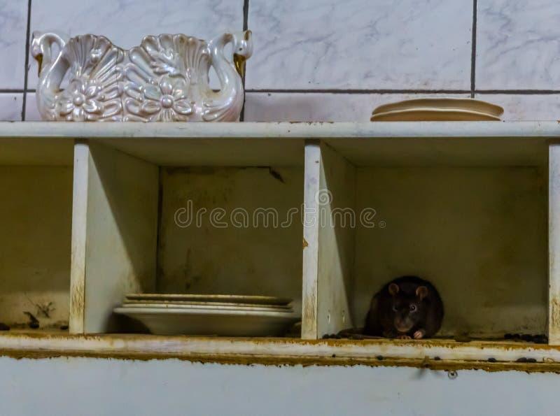 Szczura i myszy dżuma, zwierzęca zaraza w brudnej kuchni, błonie domowi problemy zdjęcia stock