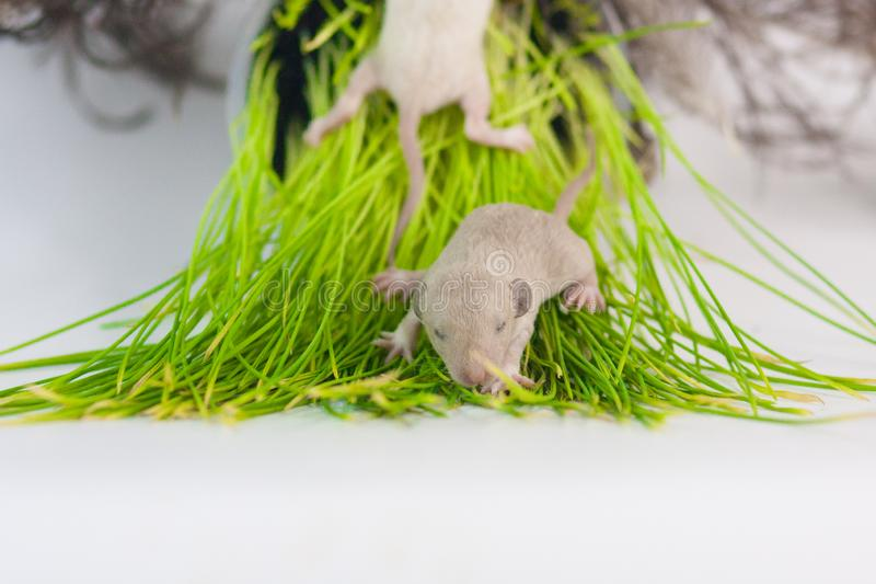 Szczura kłamstwo na zielonej trawie Mały nowonarodzony dziecko ślepuszonek zbliżenie zdjęcia royalty free