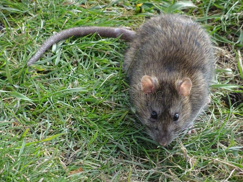 Szczura scavenging pod ptaków dozownikami przy Slimbridge obraz stock