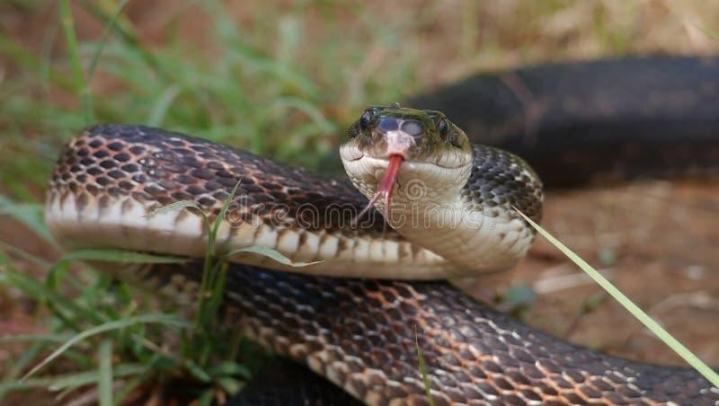 Szczura wąż zdjęcie royalty free