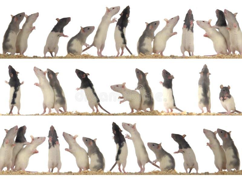 szczury fotografia stock
