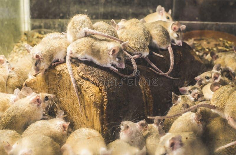 Szczury na drewnie obraz royalty free