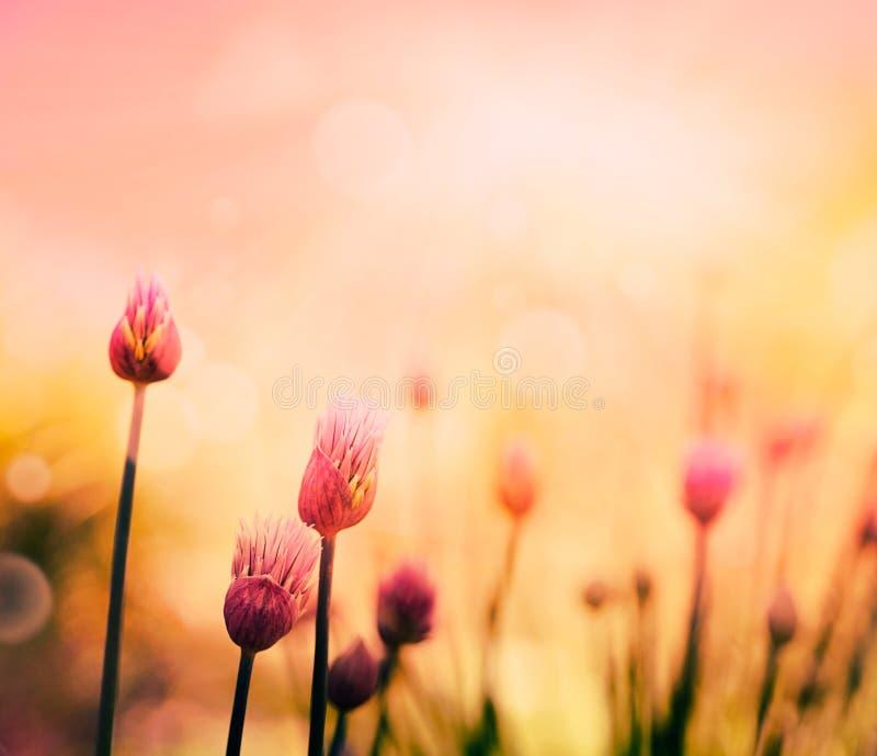 Szczypiorków kwiaty zdjęcie stock